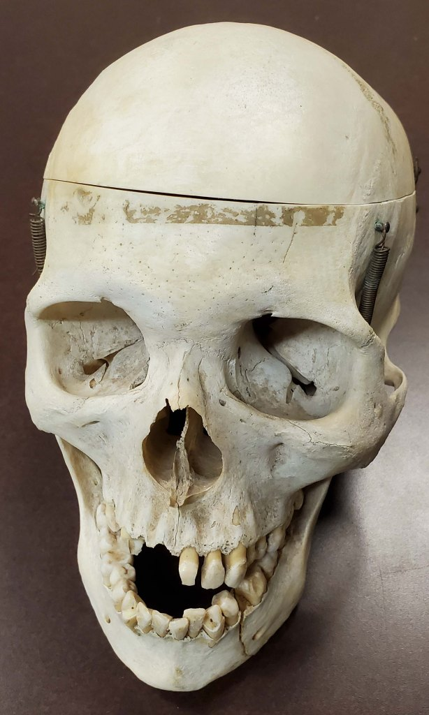 human skull from front